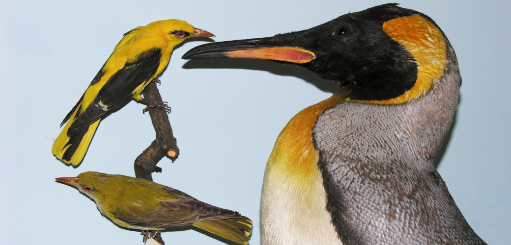 The oriole and the king penguin. Here both animals appear in the light visible to humans. - Credit: Sunbird Images